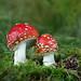 Fliegenpilze (Rheintal Foto) Tags: fliegenpilze pilze makro natur christiankamber amantia
