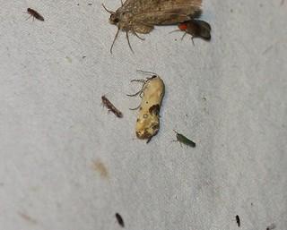 9097 Ponometia nannodes, Bird-dropping Moth