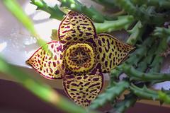 Orbea variegata (Ruud de Block) Tags: apocynaceae taxonomy:binominal=orbeavariegata orbeavariegata ruuddeblock