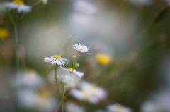 In the meadow (bresciano.carla) Tags: pentax vintagelens flowers daisies pentax50mmf17