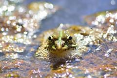 Pelophylax perezi (jotneb) Tags: natureza animais vidaselvagem rã verde agua arlivre