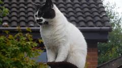 Charlie  posing (claire artistandpoet Stroke Survivor) Tags: cat pussy fur charlie animal tomcat outdooor