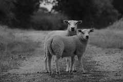 [EXPLORE] The runaways (Wanderer in Wonderland) Tags: sheep moutons animal runaways path chemin countryside country campagne nature blackandwhite blackandwhitephotography bw noiretblanc creuse limousin france