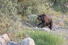Bbbb-bear! (D_Snapper) Tags: wild grizzly bear canada alberta ab ca canon spray valley provincial park kananaskis country sprayvalleyprovincialpark kananaskiscountry ursusarctoshorribilis bartmartens bartmartensfotografie bartmartensphotography wwwbmartenscom