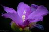 Hibiscus (harakis picture) Tags: hibiscus flower fleur lumière light colors couleurs sony a7 garden purple fantasticflower