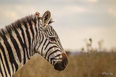 STRIPED BEAUTY! (TRJphotography) Tags: zebra wildlife safari kenya nairobi nairobinationalpark nnp beauty nature animals mammal closeup canon sigma photography