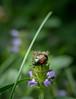 pest beetle (severalsnakes) Tags: kansas m3528 pentax saraspaedy shawnee shawneemissionpark bug insect invasive japanesebeetle k1 macro manual manualfocus pest raynox250