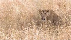 Lion in the Grass (Raymond J Barlow) Tags: lion wildlife africa raymondbarlow tanzanai travel adventure tour