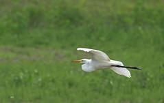 Grande Aigrette / Great Egret (alain.maire) Tags: bird ardeidae aerdeaalba grandeaigrette greategret nature quebec canada