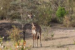20170618_3901_Masai Mara_Girafe Masai (fstoger) Tags: kenya masaimara viesauvage wildlife safari girafe girafemasai masaigiraffe afrique africa