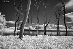 "Dead Ends (""A.S.A."") Tags: arcotlake cramlington northumberland northeast britain countryside trees lake infrared830nm longexposure slow shutter cloud sonya7rinfrared830nm canonef1740mmf4lusm leefilters leebigstopper landscape blackwhite mono monochrome greyscale niksoftware silverefex asa2017"