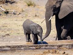 African Bush Elephants (xrxss15) Tags: africa africanbushelephant afrikanischerelefant animalia animals elephantidae elephants jungtier krugernationalpark loxodontaafricana mammals mpumalanga southafrica säugetiere tiere drinking immature juvenile outofacar