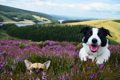 Little in the heather (lisheeny) Tags: chihuahua border collie dog canine pet animal moorland heather purple peak district derbyshire