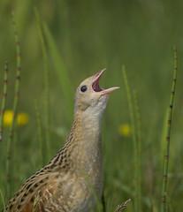 Corn Crake (J J McHale) Tags: corncrake crexcrex bird crake nature scotland wildlife