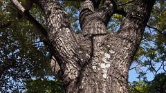 """""""Cedrela odorata"""" Brazilian-red-cedar (mauroguanandi) Tags: cedrelaodorata brazilianredcedar brazil cedrela meliacea meliaceae"""