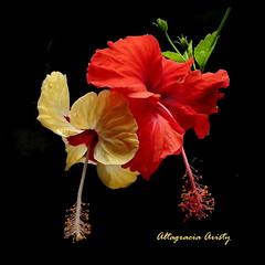 Gemelas/Twins (Altagracia Aristy Sánchez) Tags: hibiscos hibiscus cayena laromana quisqueya dominicanrepublic caribe caribbean caraïbe antillas antilles trópico tropic américa fujifilmfinepixhs10 fujifinepixhs10 fujihs10 altagraciaaristy fondonegro sfondonero blackbackground repúblicadominicana