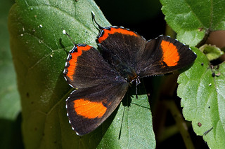 Heliophorus epicles - the Purple Sapphire (female)