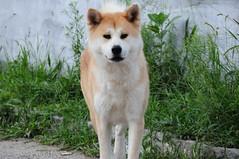 Pet Photo Dog (Arqui Jr.) Tags: apbt akitainu lhasaapsu srd arquijr