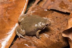Mazatlan Narrow-mouthed Toad (amdubois01) Tags: sonora méxico herpetology herp fieldherping frog anura mazatlannarrowmouthedtoad gastrophrynemazatlanensis narrowmouthedtoad toad microhylid