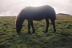 Dartmoor pony 4 (avenwildsmith) Tags: film 35mm nature devon countryside landscape analog analogue kodak retinette 1b grain england britain wild wilderness moor moorland moors dartmoor animal pony grass grazing dark black brown eating 35mmfilm kodakretinette1b