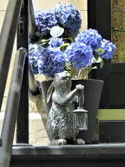 Chicago, Old Town Triangle, Blue Hydrangea Flowers with Rabbit Sculpture (Mary Warren (9.3+ million views)) Tags: chicago oldtowntriangle urban architecture building house residence nature flora blue blooms blossoms flowers hydrangea art bronze sculpture rabbit lantern railing