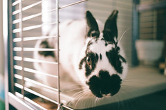 (Doug J.) Tags: film 35mm canon eos rebel g 40mm f28 fuji fujifilm superia xtra 400 rabbit bunny cute pet bun