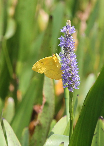 Orange-barred Sulphur (Phoebis philea)