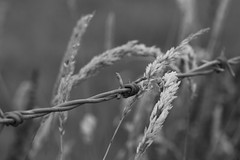 (AngharadW) Tags: metal bokeh dof bw angharadw friday fencedfriday fence barbedwire mono seed grass