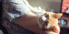 You can't beat morning cuddles (cuppyuppycake) Tags: ginger cat morning cuddles lazy sweet cuddly indoors