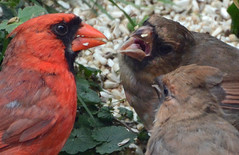 Northern Cardinals - father feeding two youngsters (ctberney) Tags: northerncardinal cardinaliscardinalis red bird feeding youngsters backyard seed nature