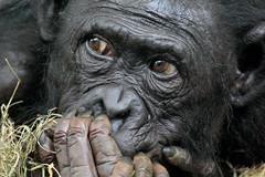 BONOBO (K.Verhulst) Tags: bonobo ape mensaap apenheul apes apeldoorn mensapen apen monkeys ngc coth5