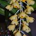 """Dendrobium densiflorum """"Mateo"""" – Alan Castillo"""