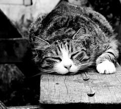 Snoozing (Zèè) Tags: chat cat cats katze kot kitty katzen gato gatto asleep sleepy spats black white bw blanc noir noirblanc monochrome blackandwhite