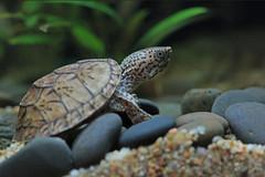 IMG_9855 (Laurent Lebois ©) Tags: laurentlebois france reptile rettile reptil рептилия tortue turtle tortoise tortuga tartaruga schildkröte черепаха chelonia sternotherus minor terrariophilie razorbackmuskturtle cinosterne