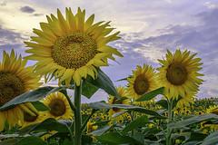 _LCH6808 Kansas sunflowers (snolic...linda) Tags: kansas lawrencekansas sunflowers sunrise
