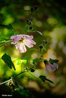 Rose trémière baignée de soleil, après la pluie