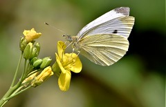 Yellow and White. (pstone646) Tags: butterfly insect nature animal wildlife flower white yellow plant fauna flora bokeh closeup kent