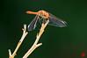 Sympetrum fonscolombii à l'affût (mamnic47 - Over 8 millions views.Thks!) Tags: libellules parcdebagatelle jardinsdebagatelle 06082017 sigma150600mm macro 6c8a0068 sympetrumfonscolombii sympétrumànervuresrouges