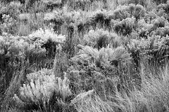 Rabbitbrush (Wild Roots Artwork) Tags: plants flowers flora kamloops britishcolumbia blackandwhite contrast mothernature nature grow growth