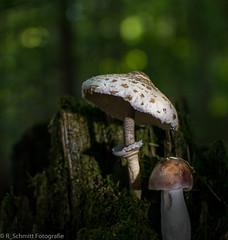 Pilze/Mushrooms (ramonaschmitt) Tags: pilze mushroom nikond3300 nikon nikkor35mm wald wood braun brown moos natur outdoor holz timber