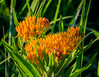 Butterfly Weed - Hyland Park (j-rye) Tags: wildflower butterflyweed summer nature natur sonyalpha sonya6000 sony a6000 mirrorless ilce6000 emount