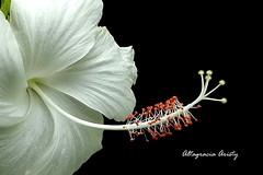Hibisco/Hibiscus (Altagracia Aristy Sánchez) Tags: hibisco hibiscus cayena laromana quisqueya repúblicadominicana dominicanrepublic caribe caribbean caraïbe antillas antilles trópico tropíc américa altagraciaaristy fujifilmfinepixhs10 fujifinepixhs10 fujihs10