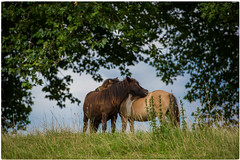 BFF (Doede Boomsma) Tags: wandeling druten companion scratching pony pair rubbing buddies friendship pals animal together rug bonding play mane field nature background funny head flora two cute color beautiful mammal farm beauty outdoor summer meadow portrait calm domestic friend love brown grazing tree stand greengrass smallpony happy brownpony grass longmane eating togetherness range landscape idyllic scene europe