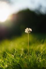 The Last Seeds (Jannik Peters) Tags: sony fe za zeiss 14 50mm dandelion seeds bokeh smooth beautiful mystic dreamy