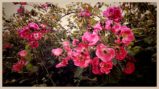 Rambling Rose.