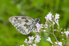 Marbled White (margaretc1946) Tags: marbledwhite gloucestershirewildlifetrust butterflyconservation bigbutterflycount glosbutterflyconservation pentaxk3 tamron90mmf28macrolens