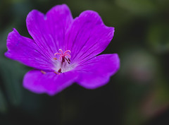 Hardy Geranium (Deborah S-C -In The Fairy Garden!) Tags: 2017 flower flora fleur hardygeranium inthefairygarden perennial purple mauve lilac stamen stigma style anther filament pollen beauty fairygardenflower
