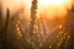Summer (Edita Ruzgas. Thanks for your visit.) Tags: edita ruzgas summer sunset wheat field yellow orange closeup micro bokeh