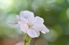 Geranios (hequebaeza) Tags: naturaleza nature vegetación vegetation flores flowers flora geranio geranium pétalos petals macro nikon d5100 nikond5100 tamron 90mm hequebaeza