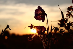 If you leave (Nathalie_Désirée) Tags: flower macro closeup evening violet lilac purple plant nature sunset cloud sky angle detail bokeh lightdot cranesbill wildgeranium meadow warmlight summer serenade contrejour leaf wildflower